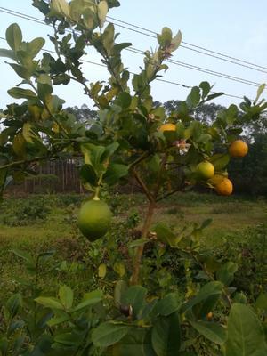 广东省江门市开平市台湾香水柠檬 1.6 - 2两