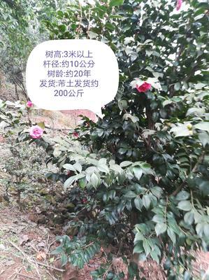 四川省自贡市荣县茶花树 140cm以上
