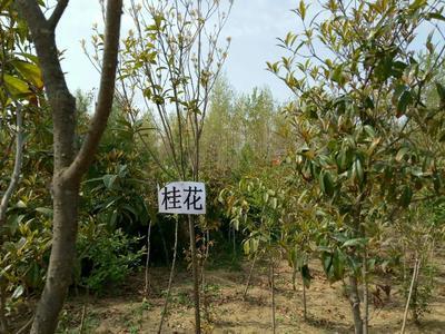 河南省南阳市邓州市桂花树