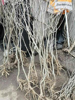 江苏省宿迁市沭阳县多花紫藤 0.5~1米 1公分以下