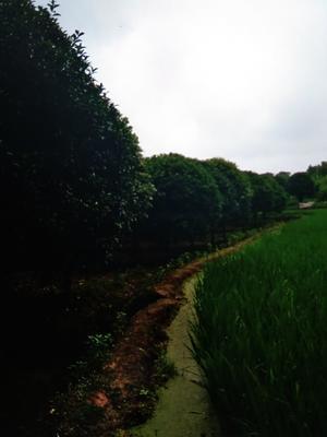 重庆南岸区重阳木