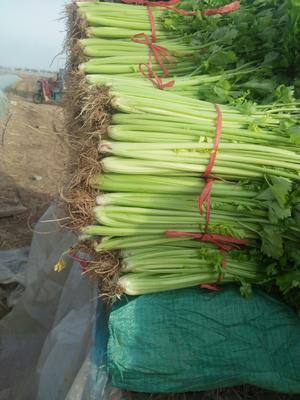 山东省潍坊市昌乐县法国皇后芹菜 55~60cm 0.5斤以下 大棚种植