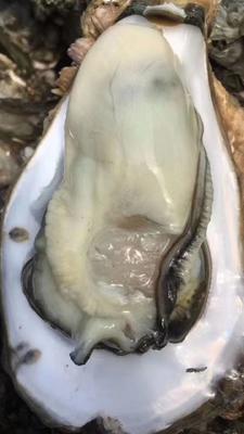 广东省湛江市麻章区湛江牡蛎 野生 1-2两/只