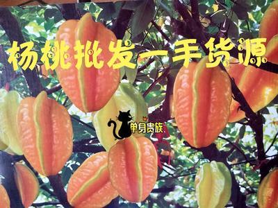 福建省漳州市南靖县红杨桃 3 - 4两