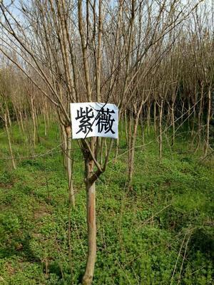 河南省南阳市邓州市紫薇树
