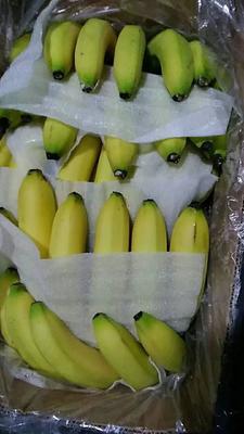 福建省漳州市南靖县天宝蕉 七成熟
