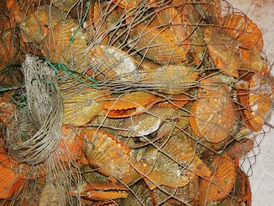广西壮族自治区北海市海城区红扇贝 野生 20-30只/公斤