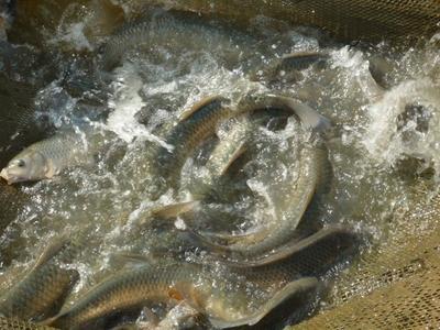 这是一张关于池塘草鱼 人工养殖 1.5-6公斤 的产品图片
