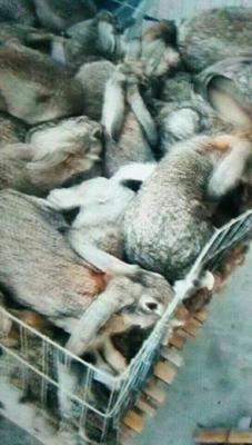 浙江省宁波市海曙区比利时野兔 1-3斤
