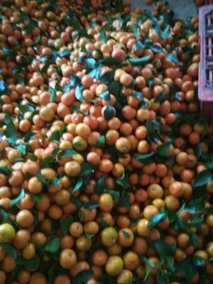 这是一张关于沙糖桔 4.5 - 5cm 1 - 1.5两 的产品图片