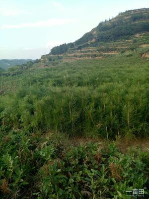 甘肃省陇南市西和县侧柏苗 核桃花淑塔柏苗出售。