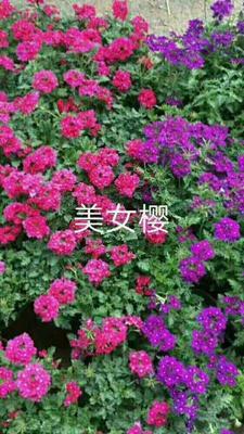 山东省潍坊市青州市传奇 美女樱