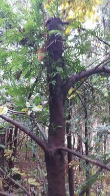 湖北省恩施土家族苗族自治州利川市南方红豆杉 2.5~3米
