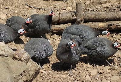 贵州省安顺市关岭布依族苗族自治县灰色珍珠鸡 2-4斤