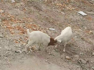 浙江省宁波市江北区山羊 110-140斤