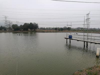 广东省佛山市三水区野生黑鱼 人工养殖 1-1.5公斤