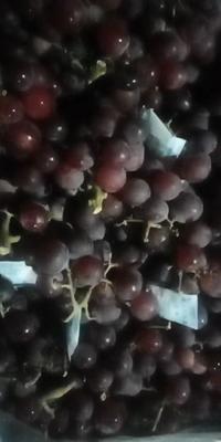 河北省石家庄市赵县巨峰葡萄 0.8-1斤 5%以下 2次果