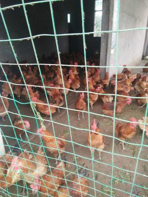 这是一张关于土鸡 3-4斤 公 的产品图片