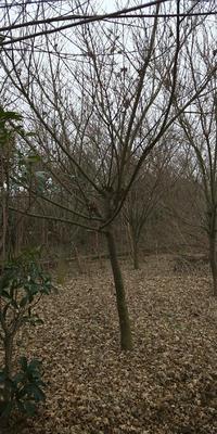 安徽省滁州市定远县深红细叶鸡爪槭