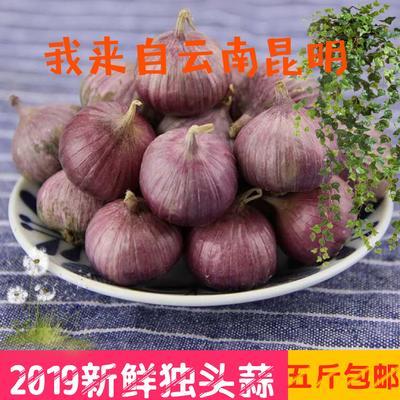 云南省昆明市东川区紫皮独头蒜 2.5cm 独头