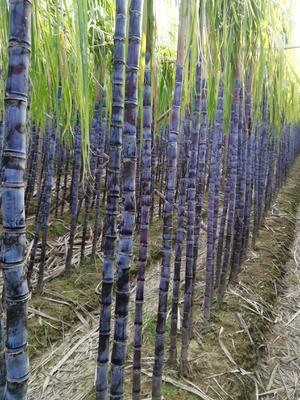 广东省广州市南沙区大灰种甘蔗 4 - 5cm 2 - 2.5m