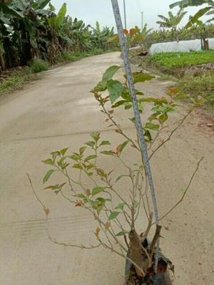 广西壮族自治区南宁市西乡塘区水红三角梅 0.2~0.5米