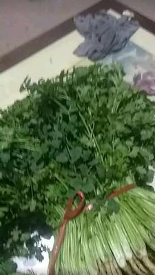 山东省滨州市惠民县中叶铁杆青 30~35cm