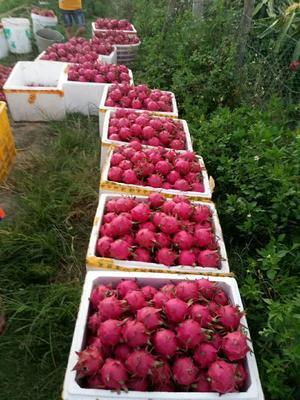 这是一张关于红水晶火龙果苗 的产品图片