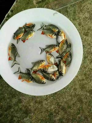 广东省广州市花都区白鲳鱼苗