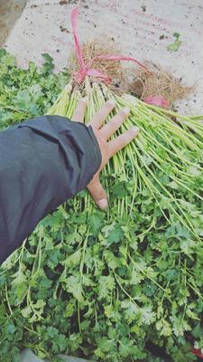 山东省潍坊市坊子区大叶香菜 30.50cm