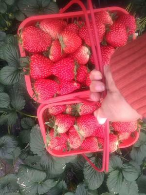 这是一张关于奶油草莓 40克以上 的产品图片