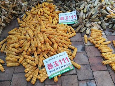 河南省安阳市滑县蠡玉18玉米种子 双交种 ≥97%