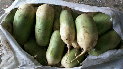 河南省开封市通许县青萝卜 1~1.5斤