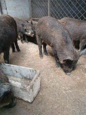 山东省济宁市梁山县特种野猪 统货 20-30斤