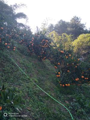广西壮族自治区桂林市荔浦县蜜香橙 55mm以下 4两以下