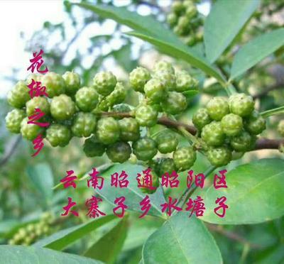 云南省昭通市昭阳区青花椒 一级 干花椒