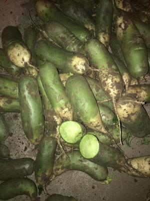 山东省莱芜市莱城区青萝卜 0.2~1斤