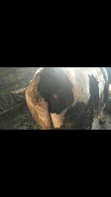 山西省晋中市太谷县黑白花奶牛 1000斤以上 公牛