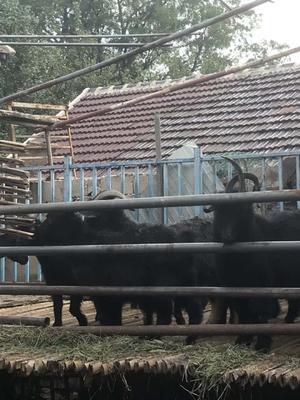 山东省临沂市蒙阴县黑山羊 30-50斤