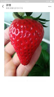 这是一张关于九九草莓 40克以上 的产品图片