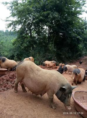 江西省抚州市临川区巴马香猪 100斤以上