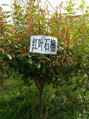 河南省南阳市邓州市红叶石楠