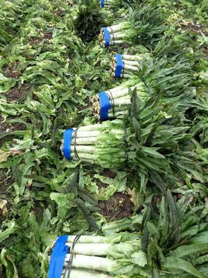 福建省三明市永安市红叶香莴苣 1.5~2.0斤 60-70cm