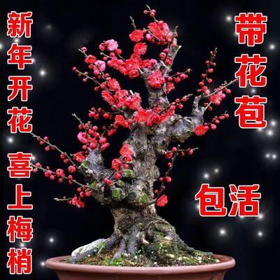 山东省临沂市平邑县美人梅 腊梅红梅乌梅树桩