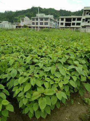 这是一张关于珙桐苗 的产品图片