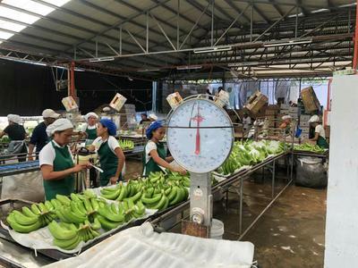 辽宁省大连市中山区厄瓜多尔香蕉 七成熟