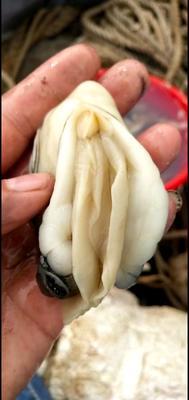 这是一张关于台山生蚝 人工殖养 3-4两/只 的产品图片