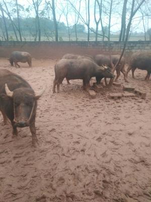 广西壮族自治区南宁市宾阳县水牛 800-1000斤 公牛
