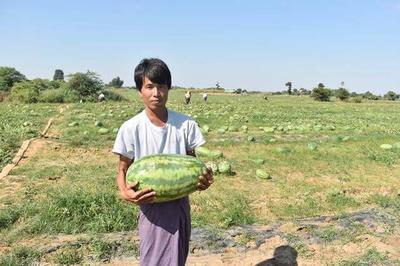 云南省德宏傣族景颇族自治州瑞丽市缅甸西瓜 8斤打底 9成熟 2茬以上 有籽