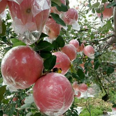 这是一张关于红富士苹果 75mm以上 全红 纸+膜袋 的产品图片